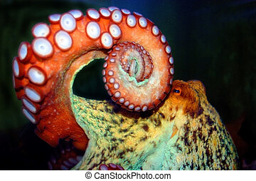 Octopus - Eye to eye with scarry octopus
