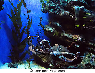 Octopus in a large aquarium