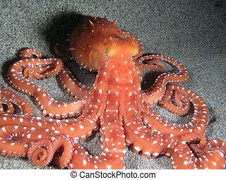 """Octopus Macropus - """"Octopus Macropus"""" shotted in the wild, ..."""