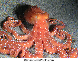 "Octopus Macropus - ""Octopus Macropus\"" shotted in the wild,..."