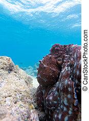 Octopus sitting on reef, Ari-Atoll. Maldives