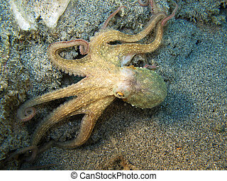 Octopus %u201COctopus Vulgaris%u201D. Shot captured in the...