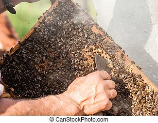 ocupar, apiculture, hombre