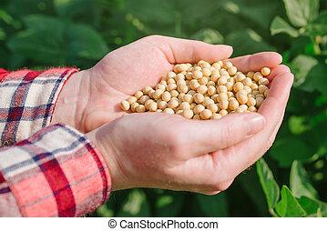 od, femininas, agricultor, punhado, campo, soja, cultivado