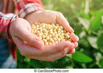 od, weibliche , landwirt, handvoll, feld, sojabohne,...