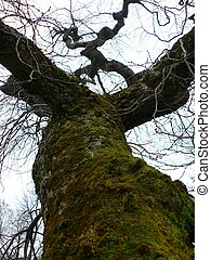 odd tree - mossy bare tree