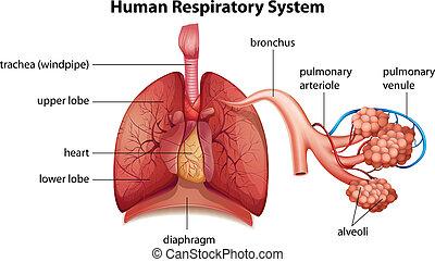 oddechowy system, ludzki