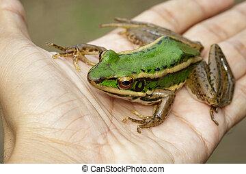 oder, hand., frosch, (rana, feld, amphibian., grün,...