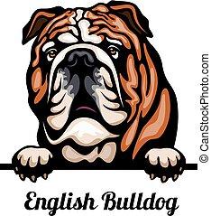 odizolowany, angielski, wizerunek, głowa, buldog, breed., ...