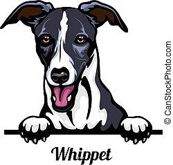 odizolowany, breed., psy, biały, whippet kolorują, wizerunek...