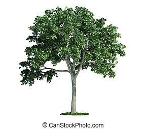 odizolowany, drzewo, na białym, wiąz, (ulmus)