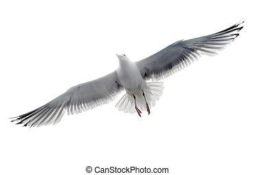 odizolowany, seagull, na, przedimek określony przed rzeczownikami, białe tło