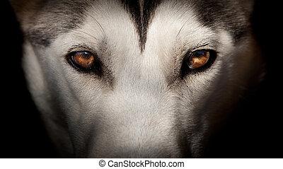 oeil, loup, aimer