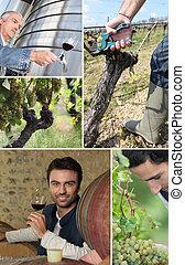 oenologist, fabricante, uvas, videiras, vinho