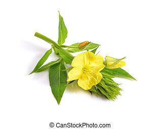Oenothera. Common names include evening primrose, suncups, ...