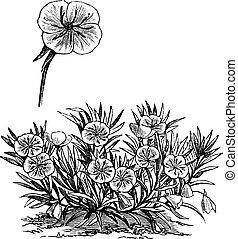 Oenothera missouriensis or Missouri Evening Primrose or Ozark Sundrop, vintage engraved illustration. Trousset encyclopedia (1886 - 1891).