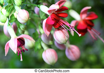 Fuchsia - Of Fuchsia exists approximately 100 types