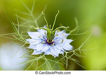 of, witte , nigella, bloem, damascena, blauwe , close-up