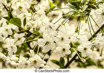 oferta, flores del resorte, árbol, cereza
