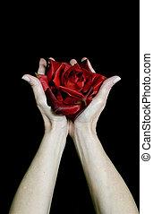 offerta, rosa