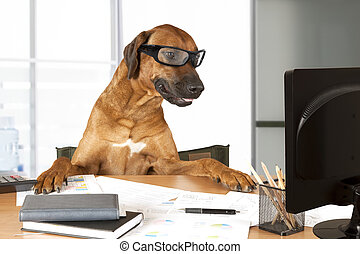 Office Manager - Rhodesian Ridgeback dog sitting at a desk...