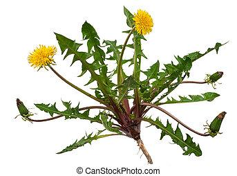 officinale), medizinisch, (taraxacum, plant:, lã¶wenzahn