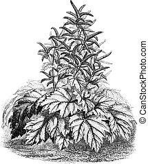 officinale), rhubarbe, tibet, vendange, (rheum, engraving.