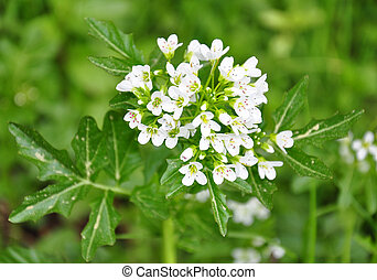 officinale), watercress, (nasturtium