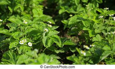 ogród, truskawka, rozkwiecony, dziki