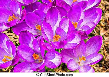 ogród, wiosna, abstrakcyjny, skutek, krokus, makro, kwiaty, malarstwo, pierwszy