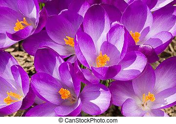 ogród, wiosna, krokus, makro, kwiaty, pierwszy