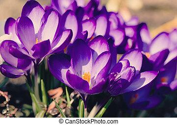 ogród, wiosna, krokus, retro, makro, kwiaty, pierwszy