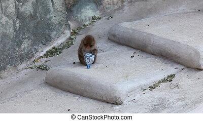 ogród zoologiczny, małpa, schodek, pozować