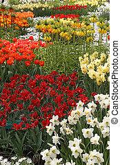 ogres, cheio, de, flores coloridas, tulips, e, hyacinths., vertical.