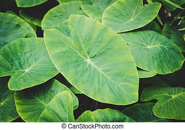 ogromny, roślina, liść, closeup, tropikalny, rośliny, liście, makro