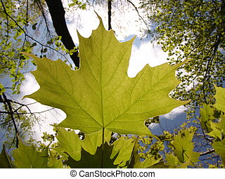 Oh Canada - A Canadian maple leaf