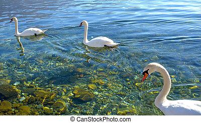 ohrid, schwänesee, macedonia, vögel