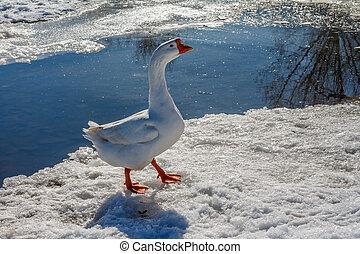 oie, ruisseau, neige