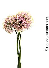 oignon, fleurs