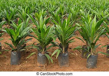 Oil palm sapling in Thailand