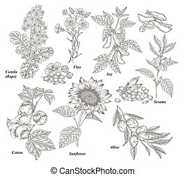 Oil plants set. Canola, cotton, flax, sunflower, olive, soy and sesame branches and flowers hand drawn. Vector illustration botanical. Vintage engraving.
