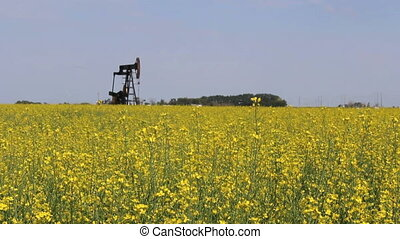Oil Pump In Canola Field - A lonely oil pump stands in a...