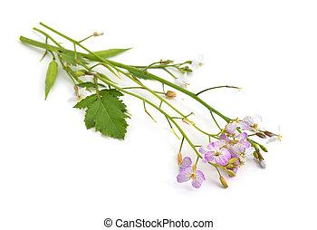 Oil Radish flowers. Isolated.