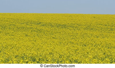 Oil rape, blossoming canola field with blue sky - Oil rape,...