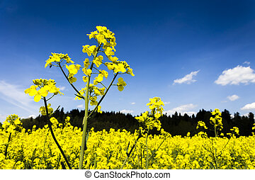 Oil Seed Field Yellow Plants with Blue Sky