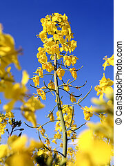 Oilseed and blue sky