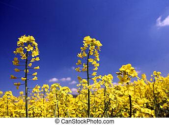 oilseed, campo, florecimiento, rapeseed, amarillo