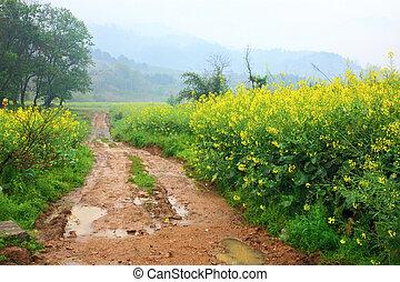 oilseed, campo, por, violación, camino