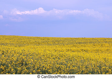 oilseed, campo, verano, violación, estación