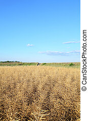 Oilseed - Dry oil rape field in early summer ready for ...